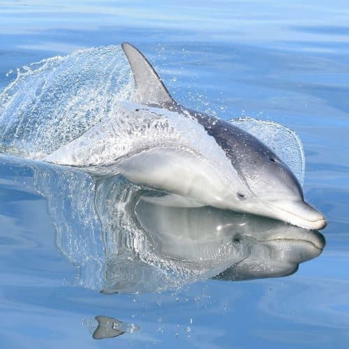 Credit Mandurah Cruises Dolphins