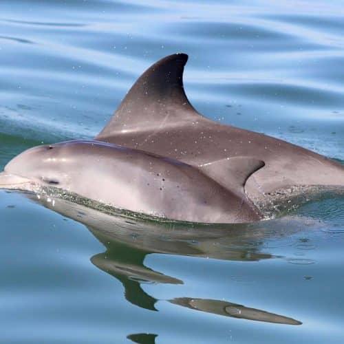Credit Mandurah Cruises Mandurah s Dolphin Babies
