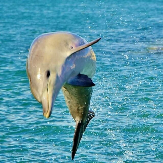 Leaping into the long weekend is our Dolphins favourite sport!  Check out what's on over the long weekend here https://www.visitmandurah.com/events/list/.  Image by @west_coast_explorer77