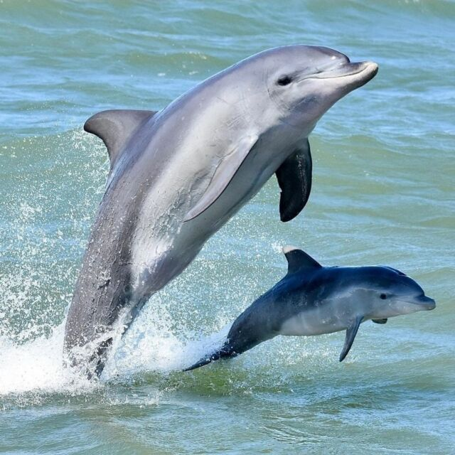 Happy Mothers Day to all mums🥰  Did you know that a dolphin calf will stay by its mother's side for up to 3 years?  Now is the perfect time to visit the Mandurah Estuary to spot mother dolphins and their new calves.  Image by @mandurahcruises   #VisitMandurah #Mandurah #perth #mothersday #wanderoutyonder #thisiswa #seeperth #dolphins #travelgram #travel #destinationperth #mandurahcruises
