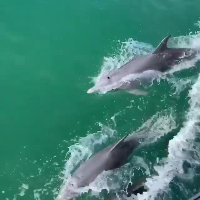 Did you know that you can see dolphins in Mandurah all year round? 🐬 Around 120 active and playful Indo-Pacific bottlenose dolphins call Mandurah home, meaning you'll see them on the surface of the water as they feed, rest, and play in their natural environment. Some of the best places to spot them are in the estuary, boat harbour, Serpentine River, Murray River, and in the ocean. Head to Mandurah for a Winter escape and experiences the dolphins in their aquatic playground! 📸 @shahedun